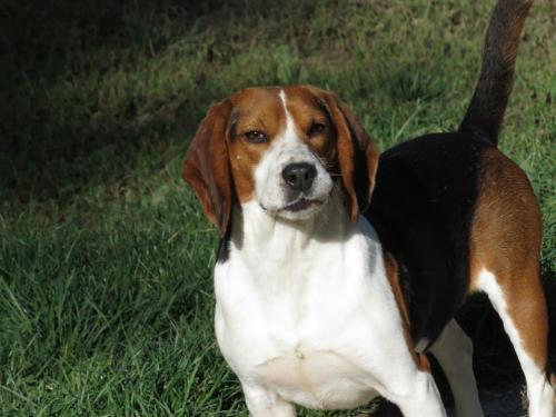 Georges_beagle né 03.09.15