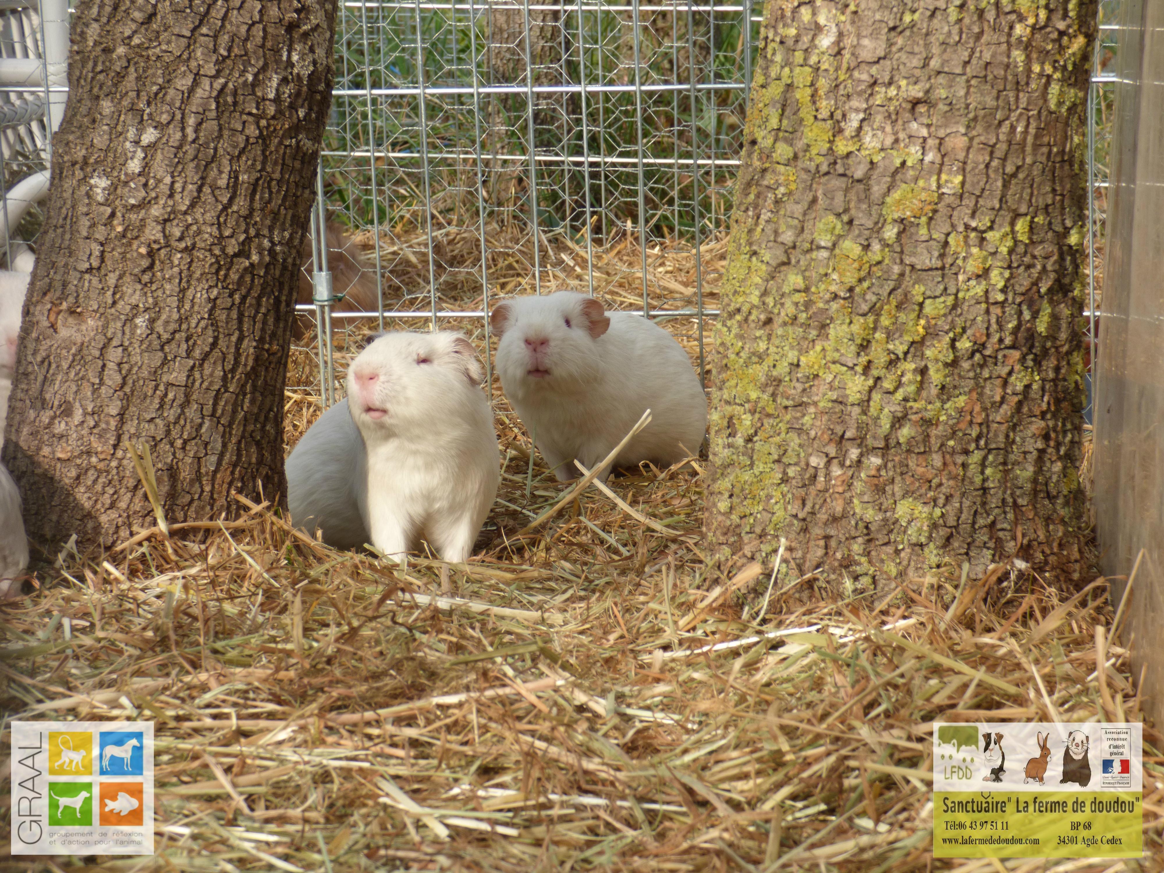 Cochons d'Inde laboratoire GRAAL - La ferme de Doudou
