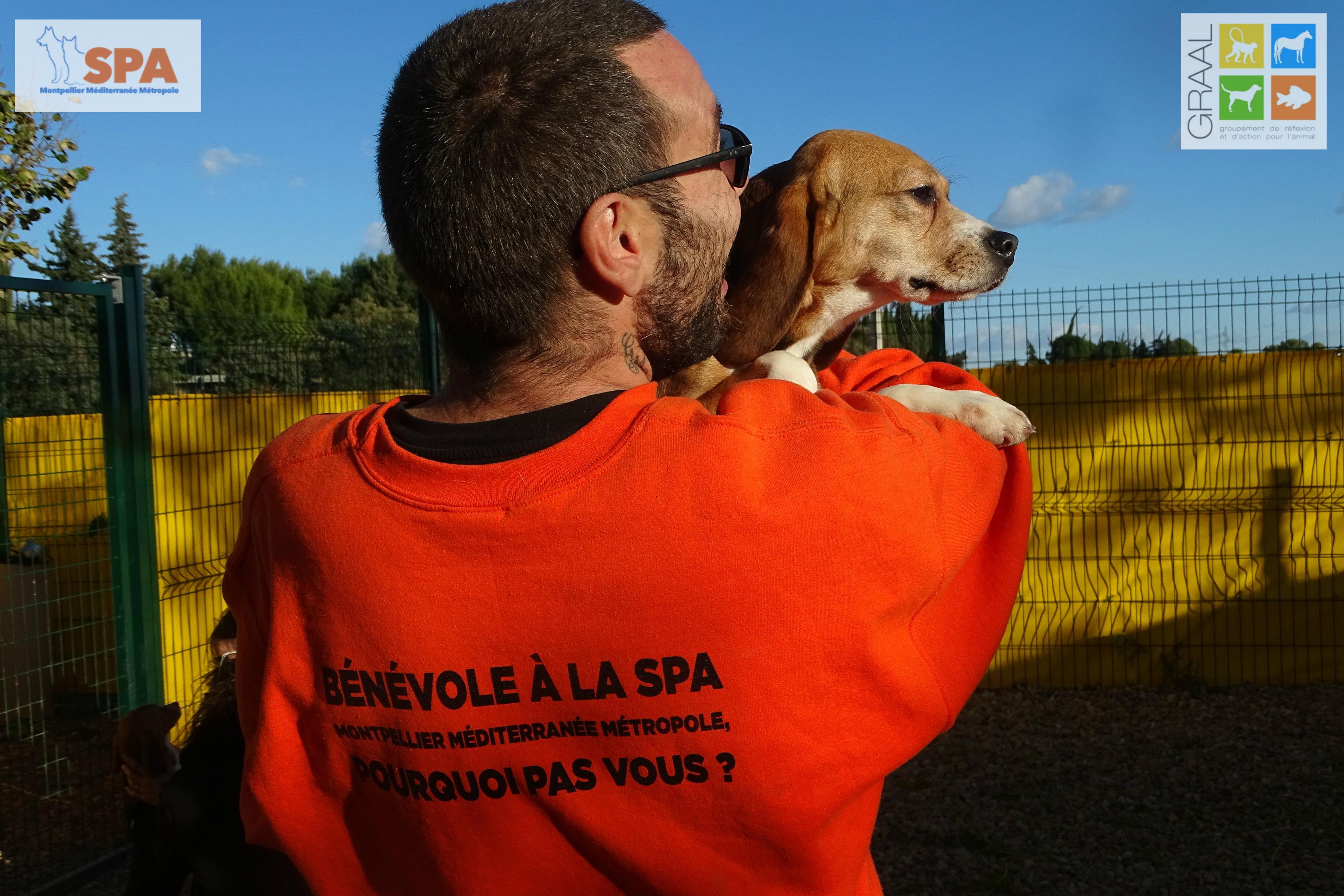 Beagles laboratoire GRAAL SPA Montpellier