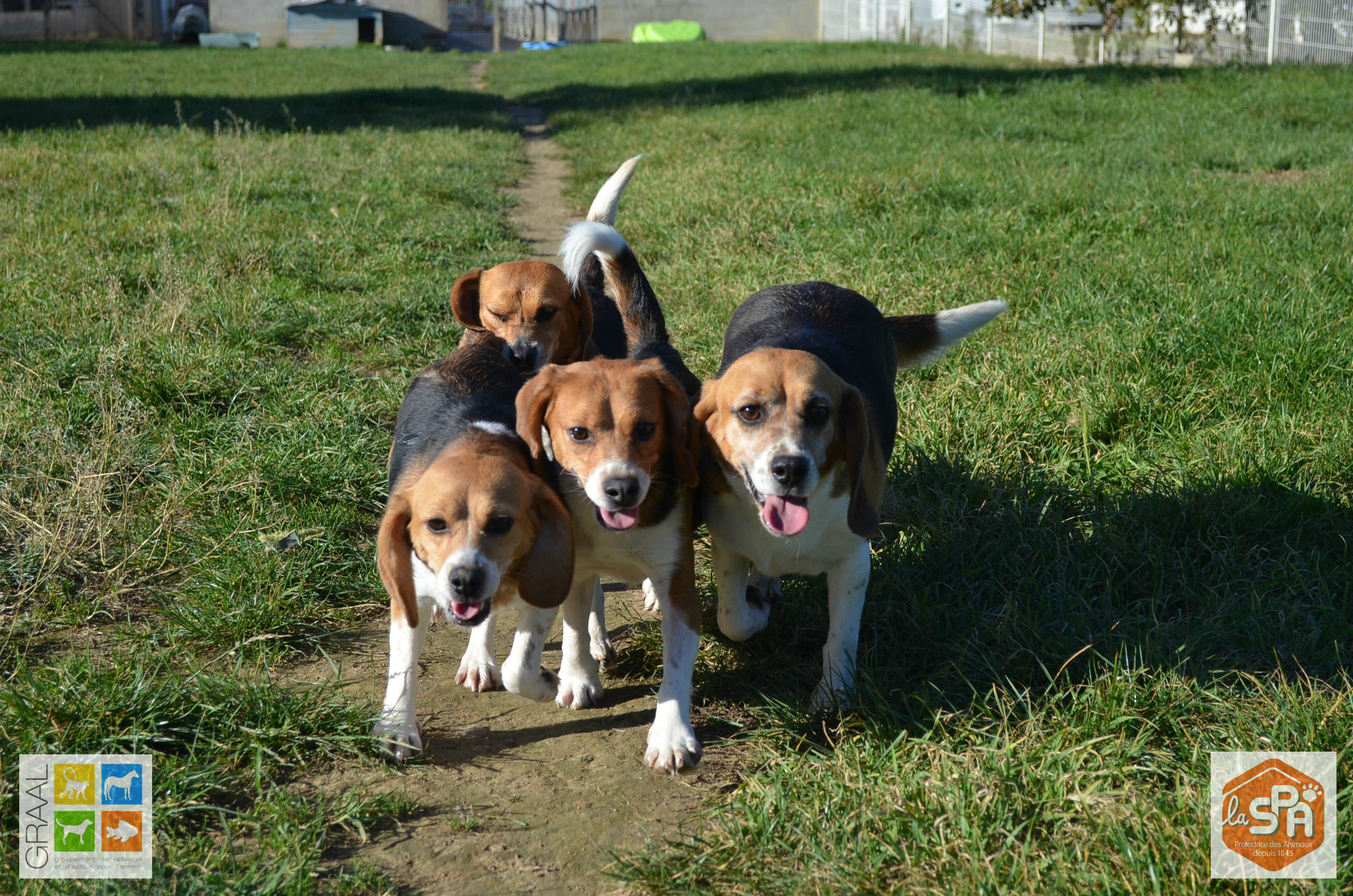 Beagles laboratoire SPA