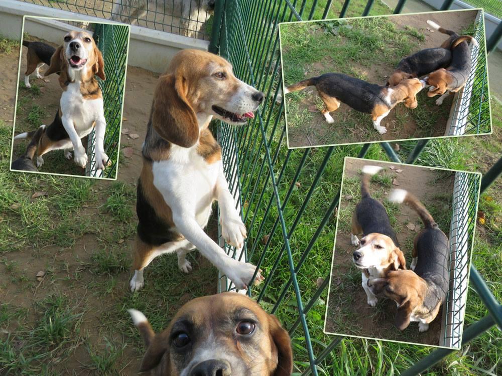 Beagles labos - SPA Cholet à l'adoption