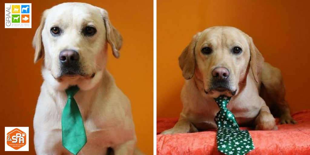 Jhumper et Jhazzy,, chiens golden de laboratoire réhabilitée par l'association GRAAL