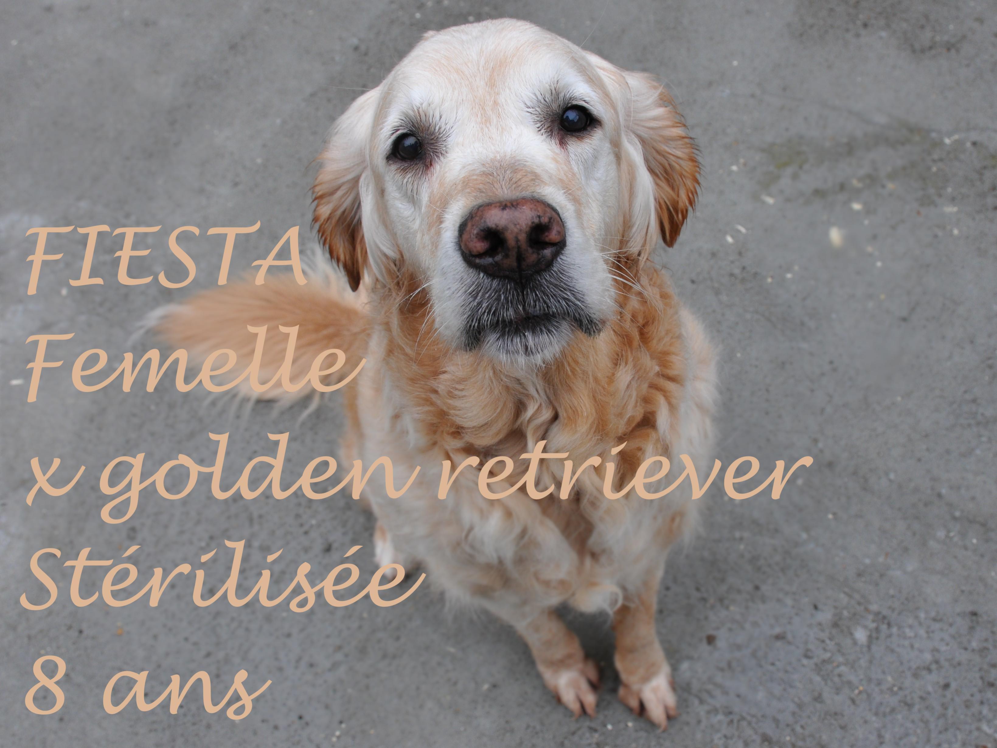 Fiesta_chien golden de laboratoire