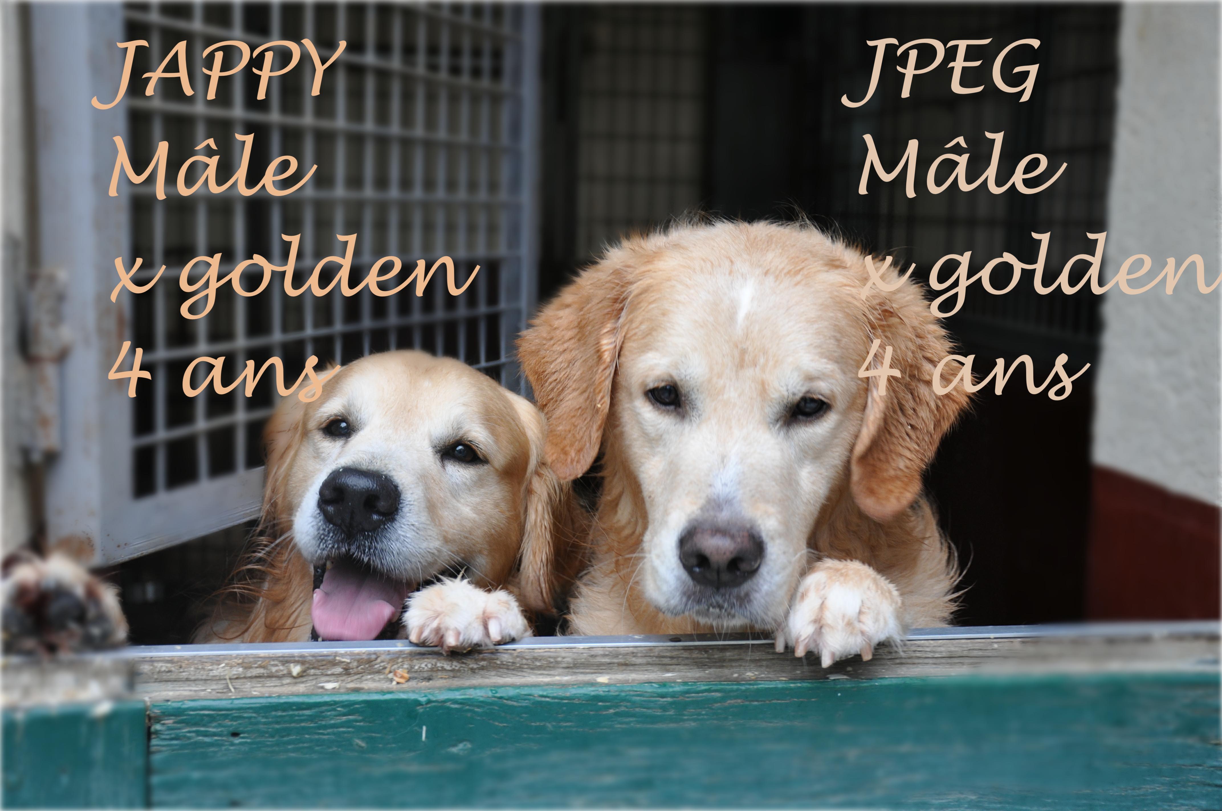 Jpeg et Jappy chiens golden de laboratoire réhabilités par l'association GRAAL