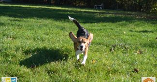 Beagles laboratoire à adopter