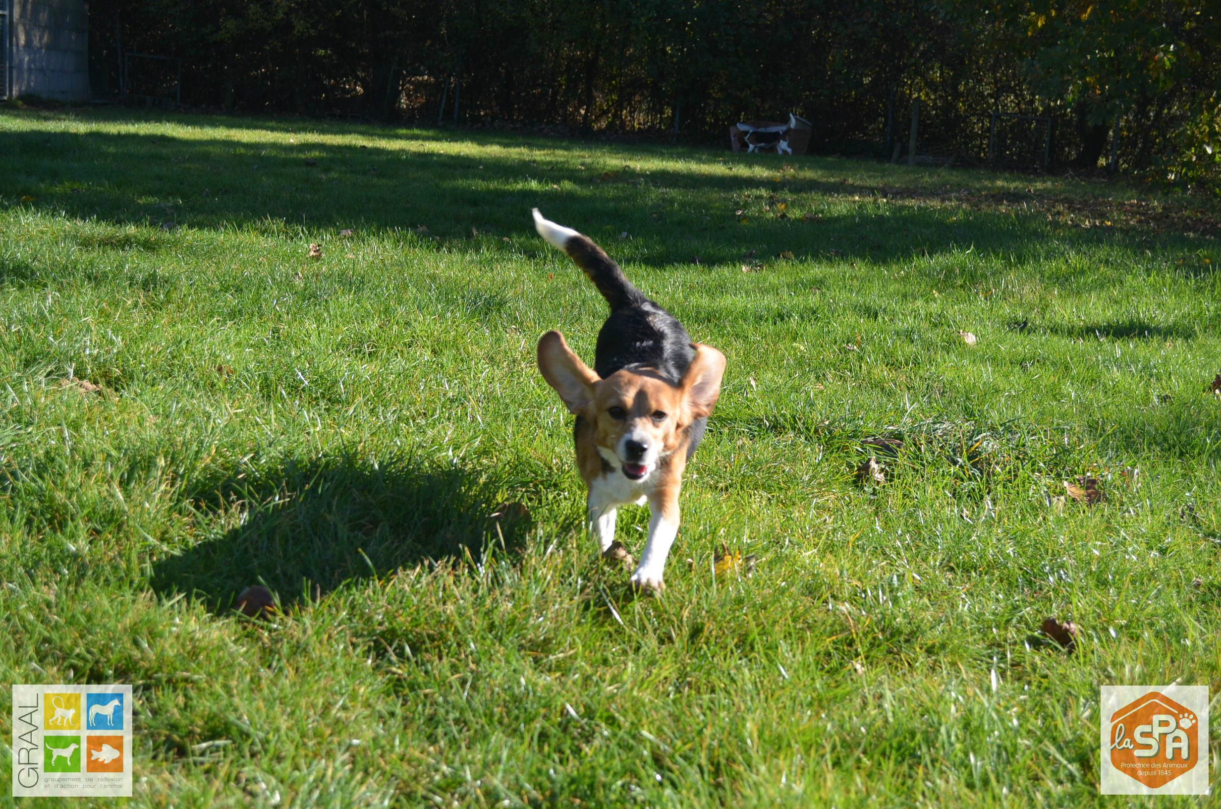 Beagles laboratoire à adopter